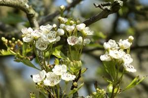 Holy Thorn Blossom