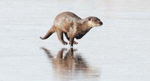 Running Otter On Ice - Print