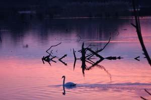 Swan Lake - Print