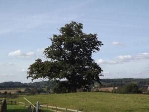 Shropshire Oak - print