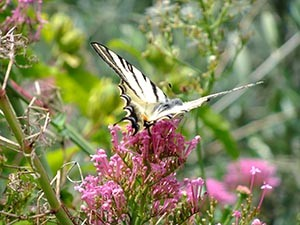 Zebra Butterfly , A4 print