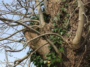 Climbing Ivy, A4 print