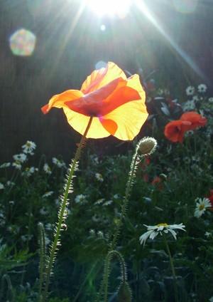 Fulfilment Poppy - giclee print