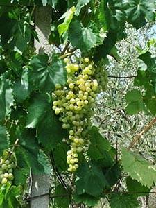 Il Vino della Framura (Italy), A4 print