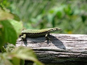 Curious Lizard, A4 print
