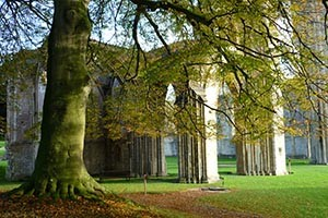 Beech Tree in Glastonbury Abbey - Giclee Print
