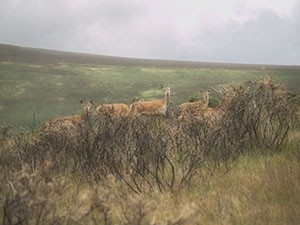 Wild Deer on Exmoor - Giclee Print